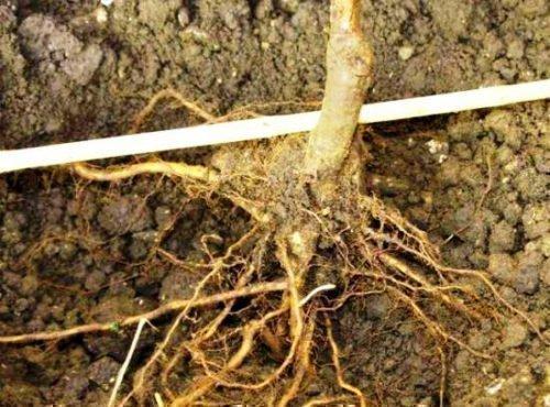 Размещение корней в яме