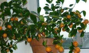 Как правильно выполнить обрезку домашнего мандарина