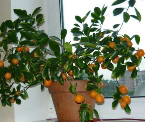 Плодоносящий мандарин