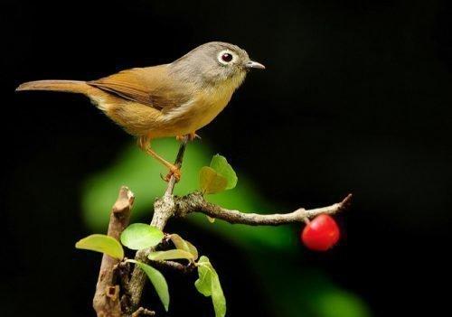 Птицы на вишне