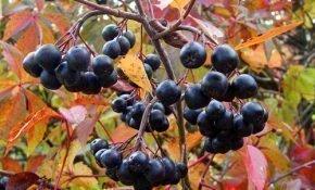 Советы по уходу за черноплодной рябиной