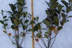 Способы размножения черноплодной рябины