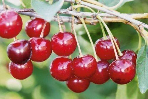 Уральская рубиновая
