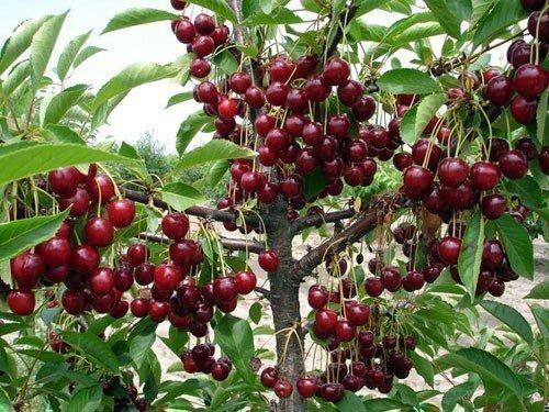Урожайность вишни