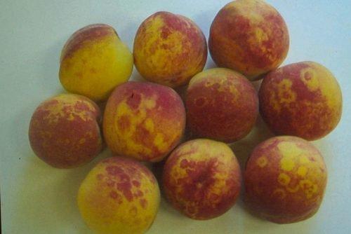 Плоды ренклода с шаркой