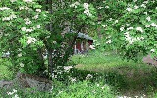 Сроки цветения рябины