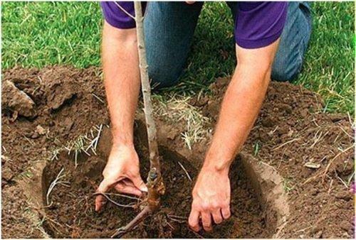 Размещение корней