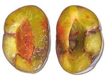 Плод с шаркой