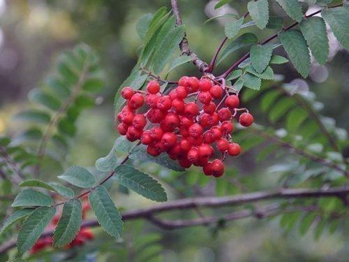 Красноплодная рябина Сорбинка