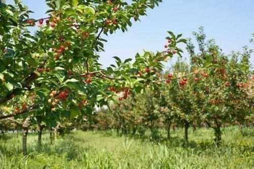 Молодой сад с черешнями Красная горка