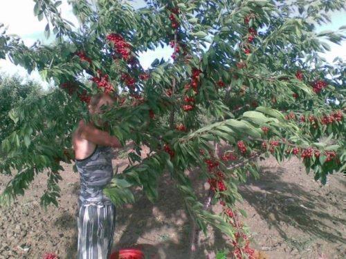 Сбор плодов