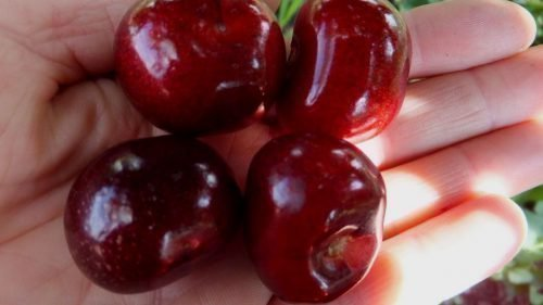 Плоды сорта