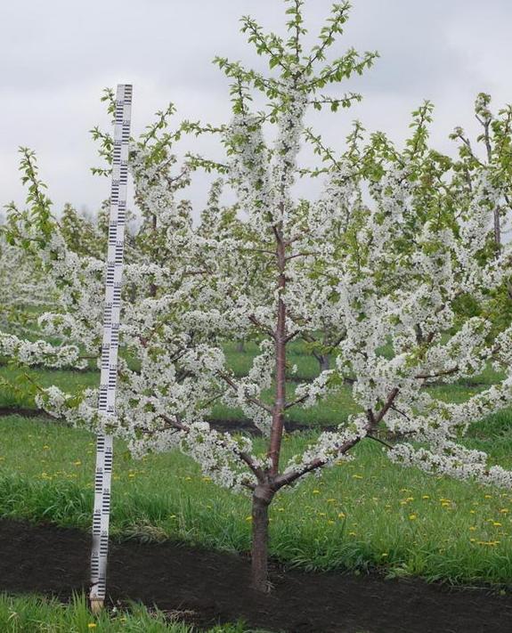 Дерево кордии в цвету