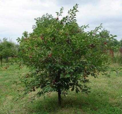 Дерево сорта Аделина
