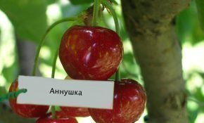 Выращивание черешни Аннушка