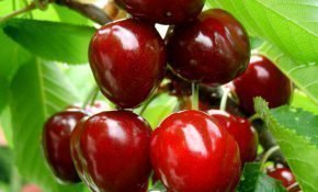 Выращивание черешни Крупноплодной