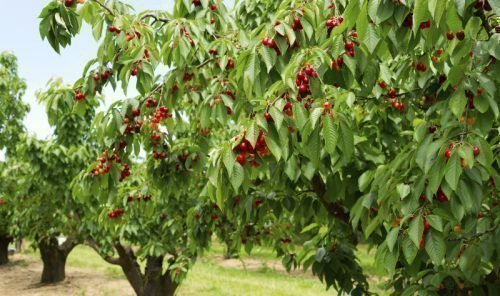 Дерево Крупноплодной