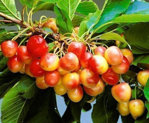 Урожайность черешни Красная горка