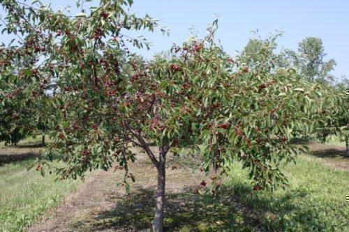 Дерево Веды
