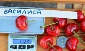 Выращивание черешни Василиса