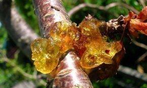 Способы лечения камедетечения вишни