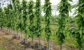 Выращивание колоновидной черешни