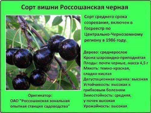 Сорт Россошанская черная