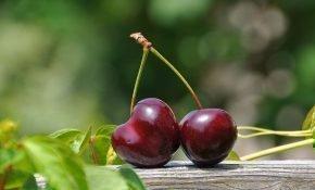 Выращивание сортов вишни