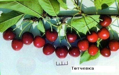 Сорт Тютчевка