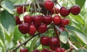 Лучшие разновидности вишни