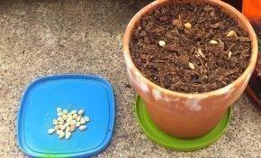 Выращивание черешен из косточки