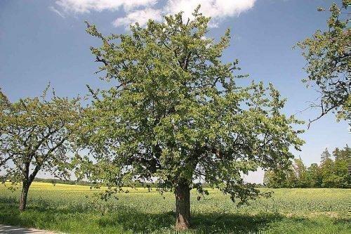 Дерево без урожая