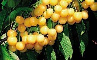Выращивание черешни Чермашная