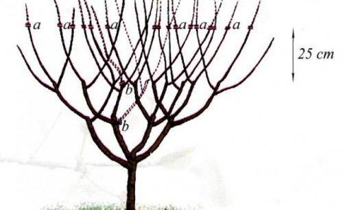 Черешня испанский куст формировка схема