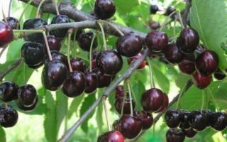 Выращивание черешни Любимица Астахова