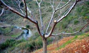 Принципы обрезки черешни осенью