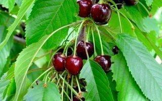 Выращивание черешни Овстуженка