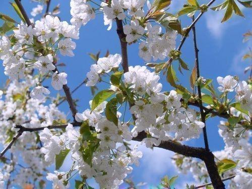 Цветы черешни