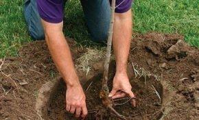 Как садить летом черешню с закрытой корневой системой