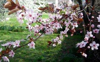 Почему не цветет и не плодоносит сливовая культура