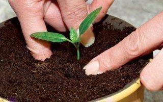 Как выращивать сливу из косточки дома