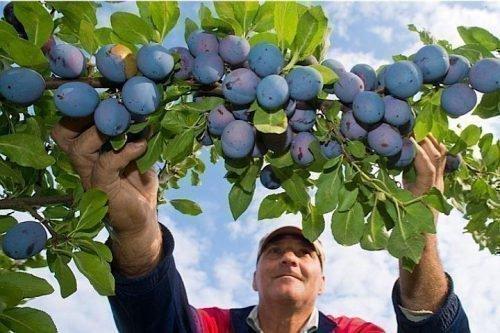 Чачакская ранняя - урожайность
