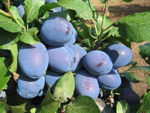 Плоды чачакской найболии