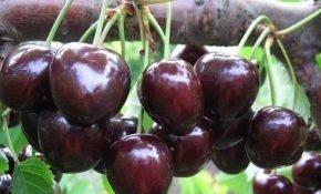 Выращивание черешни Регина