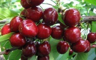Выращивание черешни Сюбаровская