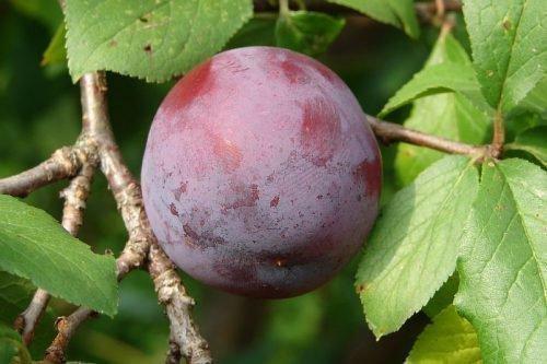 Плод сливы гармония