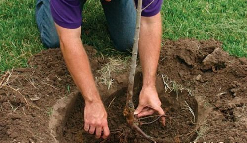 Распрямление корней