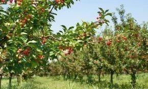 Особенности карликовой вишни