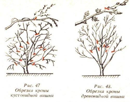 Обрезка карликовой вишни
