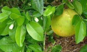 Как растет фрукт помело в естественных и домашних условиях